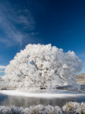 Hoar Frost on Willow Tree, near Omakau, Central Otago, South Island, New Zealand Reproduction photographique par David Wall