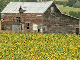 Sunflowers and Old Barn, near Oamaru, North Otago, South Island, New Zealand Reproduction photographique par David Wall