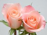 Rosas Impressão fotográfica por Jamie & Judy Wild