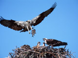 Male Osprey Landing at Nest with Fish, Sanibel Island, Florida, USA Stretched Canvas Print by Charles Sleicher