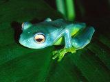 Madagascan Blue Tree Frog, Native to Madagascar Fotografisk tryk af David Northcott