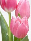 Tulipes roses Reproduction photographique par Jamie & Judy Wild