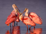 Four Roseate Spoonbills at Dawn, Ding Darling NWR, Sanibel Island, Florida, USA Stretched Canvas Print by Charles Sleicher