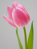 Pink Tulips Photographic Print by Jamie & Judy Wild