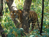 Tiger in Tree, India Lámina fotográfica por Art Wolfe