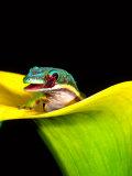 Lined Day Gecko, Native to Madagascar Fotografie-Druck von David Northcott