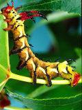 Hickory Horned Devil Caterpillar, USA Photographic Print by David Northcott