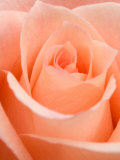 Rose Reproduction photographique Premium par Jamie & Judy Wild