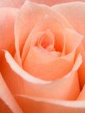 Rosa Impressão fotográfica por Jamie & Judy Wild