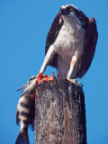 Osprey on Post with Fish Reproduction photographique par Charles Sleicher