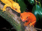 New Caledonia Crested Gecko, Native to New Caledonia Fotografisk tryk af David Northcott