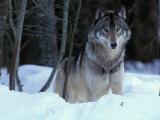 Grey Wolf, Canada Fotografie-Druck von Art Wolfe