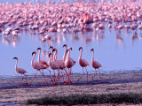 Lesser Flamingo and Eleven Males in Mating Ritual, Lake Nakuru, Kenya Photographic Print by Charles Sleicher