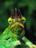 Jackson's Chameleon, Native to Eastern Africa Lámina fotográfica por David Northcott