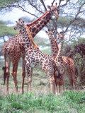 Giraffe Group or Herd with Young, Tanzania Lámina fotográfica por David Northcott