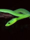 East African Green Mamba Impressão fotográfica por David Northcott