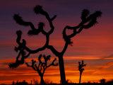 Joshua Trees at Sunrise, Mojave Desert, Joshua Tree National Monument, California, USA Fotografie-Druck von Art Wolfe