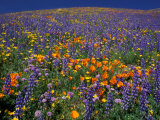Poppies and Lupine, Los Angeles County, California, USA Reproduction photographique par Art Wolfe