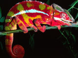 Red Phase Panther Chameleon, Native to Madagascar Fotografisk tryk af David Northcott