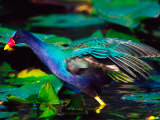 Purple Gallinule Foraging, Everglades National Park, Florida, USA Photographic Print by Charles Sleicher