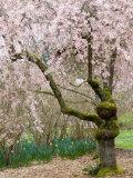 Cherry Trees Blossoming in the Spring, Washington Park Arboretum, Seattle, Washington, USA Fotografie-Druck von Jamie & Judy Wild