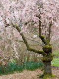 Cherry Trees Blossoming in the Spring, Washington Park Arboretum, Seattle, Washington, USA Photographic Print by Jamie & Judy Wild