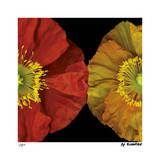 Red & Yellow Poppy I Reproduction procédé giclée par Pip Bloomfield