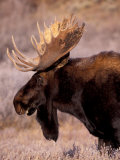 Bull Moose, Grand Teton National Park, Wyoming, USA Reproduction photographique par Art Wolfe