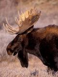 Bull Moose, Grand Teton National Park, Wyoming, USA Fotografie-Druck von Art Wolfe