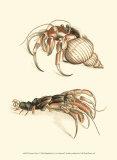 Hermit Crabs I Prints by Frederick P. Nodder