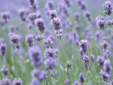 Picturesque Purple Lavender Flowers in Meadow Photographic Print