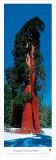 Sequoia National Park Plakater af James Blakeway