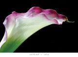Calla Lily Poster von Amalia Veralli
