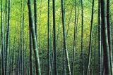 Bosque de bambu Posters por Robert Churchill