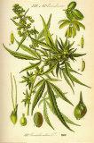 Cannibis Sativa Poster