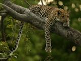 Young Leopard, Panthera Pardus, Rests on a Tree Limb, Mombo, Okavango Delta, Botswana Fotografisk trykk av Beverly Joubert