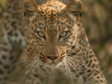 Portrait of a Leopard, Panthera Pardus, Mombo, Okavango Delta, Botswana Fotografisk trykk av Beverly Joubert