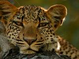 Portrait of a Leopard, Panthera Pardus, Resting, Mombo, Okavango Delta, Botswana Fotografisk trykk av Beverly Joubert