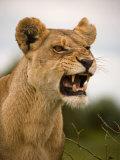 Portrait of a Snarling Aggressive Lioness, Duba Plains, Okavango Delta, Botswana Fotografisk trykk av Beverly Joubert