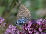 Large Blue, Maculinea Arion, Butterfly Sitting on Pink Flowers, Silvakra, Sweden Photographic Print by Darlyne A. Murawski