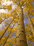 Looking Up at Towering Aspen Trees in Autumn Hues Fotografisk tryk af Ralph Lee Hopkins