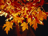 Bright Orange Maple Leaves Illuminated by Artificial Garden Lighting Photographic Print by Jason Edwards