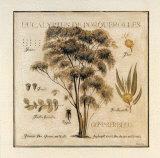 Eucalyptus de Porquerolles Posters tekijänä Pascal Cessou