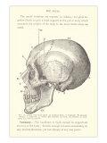 Vintage Illustration of the Skull Art