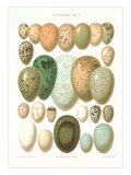Eggs of Birds Found in Eurpoe Posters