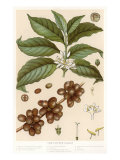 Botanical Drawing of Coffee Plant Poster
