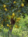 Close-Up of Lemon Tree, Denia, Spain, Europe Fotografie-Druck von Jan Baldwin