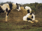 Piebald Welsh Ponies around a Bale of Hay, Lydstep Point, Pembrokeshire, Wales, United Kingdom Reproduction photographique par Pearl Bucknall