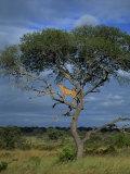Cheetah in a Tree, Kruger National Park, South Africa, Africa Fotografisk tryk af Paul Allen