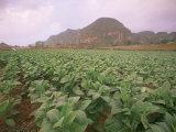 Tobacco Plantation, Cuba, West Indies, Central America Fotografie-Druck von Colin Brynn